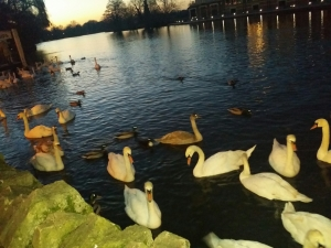 Sunset at 4pm in Eton...but the swans don't suffer from SAD